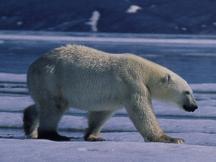 preditor pray relationship in a tundra biome